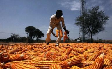 बिहार के मकई किसानों को 1300 करोड़ का संभावित नुकसान, लेकिन सरकार निष्क्रिय